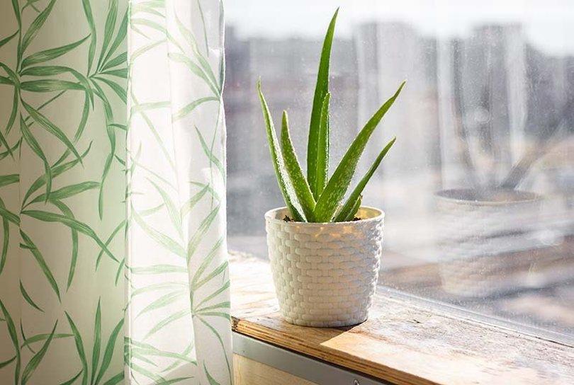 Aloe Vera - Best Indoor Plants
