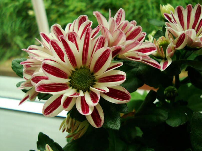 Chrysanthemum - Best Indoor Plants