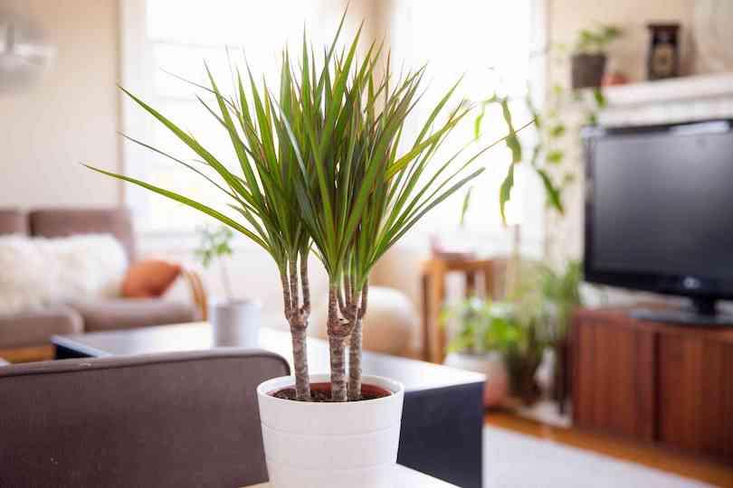 Red Edged Dracaena Plant - Best Indoor Plants