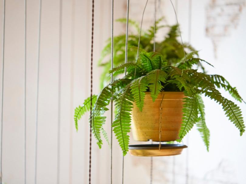 Boston Fern - Best Indoor Plants