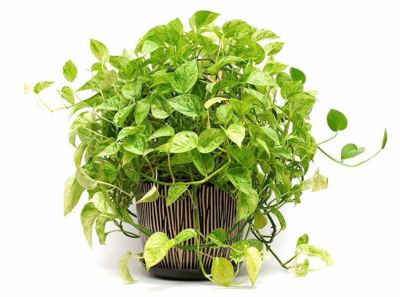 Golden Pothos - Best Indoor Plants