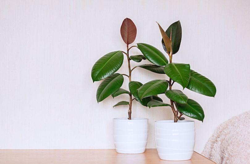 Rubber Plant - Best Indoor Plants