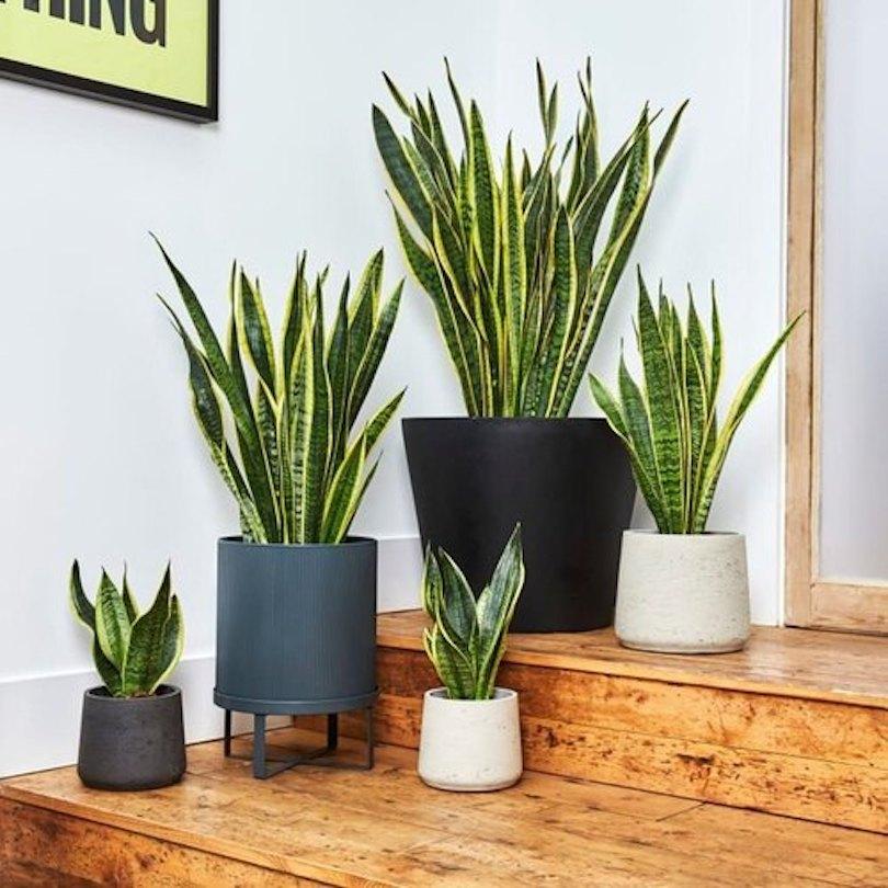 Snake Plant - Best Indoor Plants